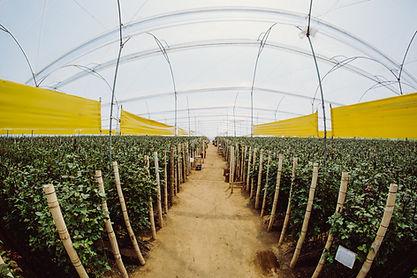 Primarossa Farm
