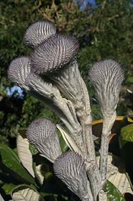 Jardins botaniques de Kirstenbosch 007