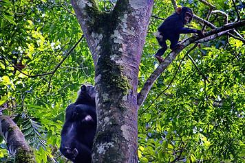 Maman chimpanzé et bébé