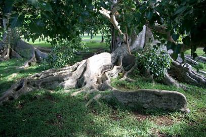 Jardins de Pamplemousses, île Maurice