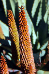 Jardins botaniques de Kirstenbosch 024