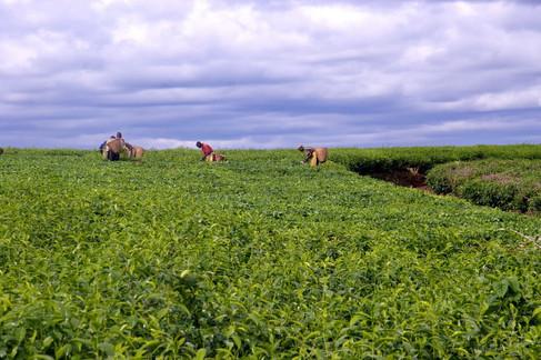 Récolte du thé en Ouganda