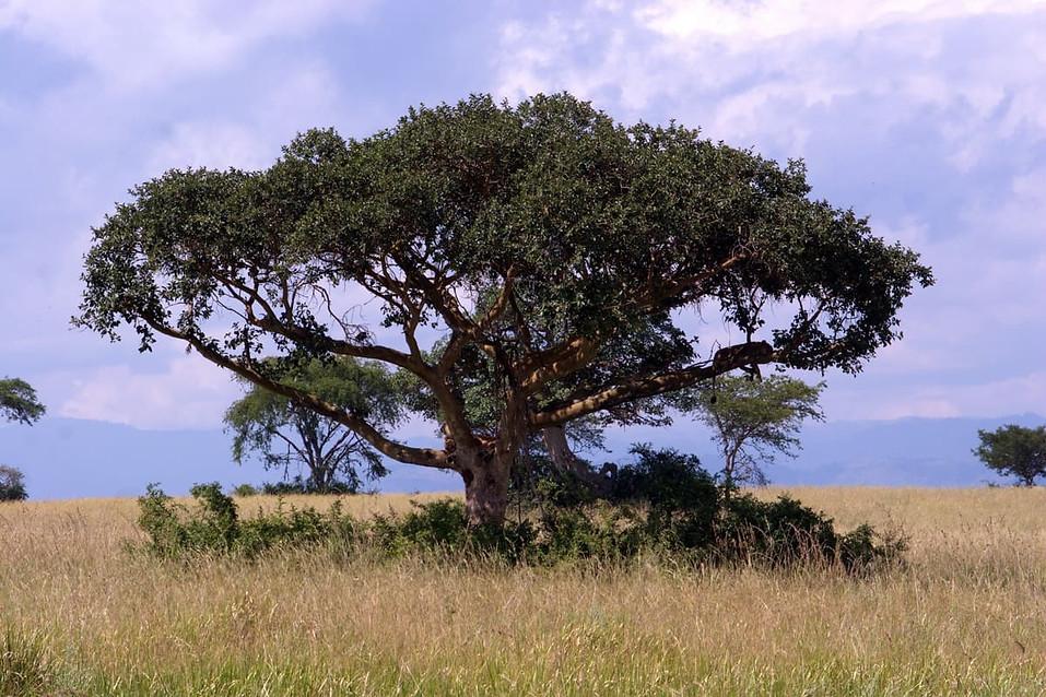 Cherchez la lionne... Elle est sur une branche