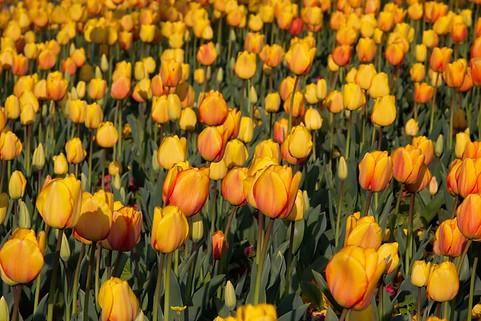 Les tulipes sont turques et non pas hollandaises