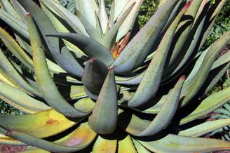 Jardins botaniques de Kirstenbosch 017