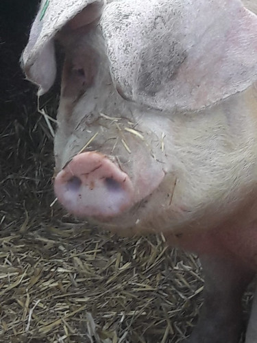 Betsy the British Lop eared Pig