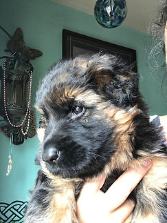 Long coat German Shepherd Puppy's in Pa
