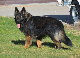czech long coat shep.jpg