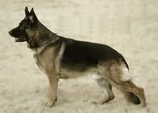old american german shepherds.jpg