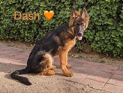 long coat german shepherd puppys pa