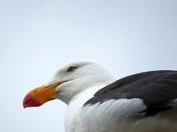 Supervising Seagull