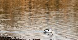 Peaceful Pelican