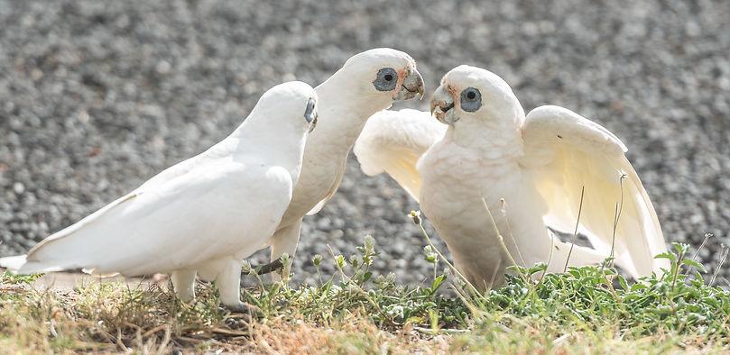 Female cockateals