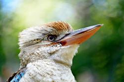 Kookaburra Silence