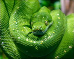 Mr Snake