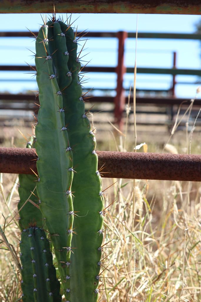 Cattle Cactus