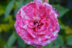 Candy Rose