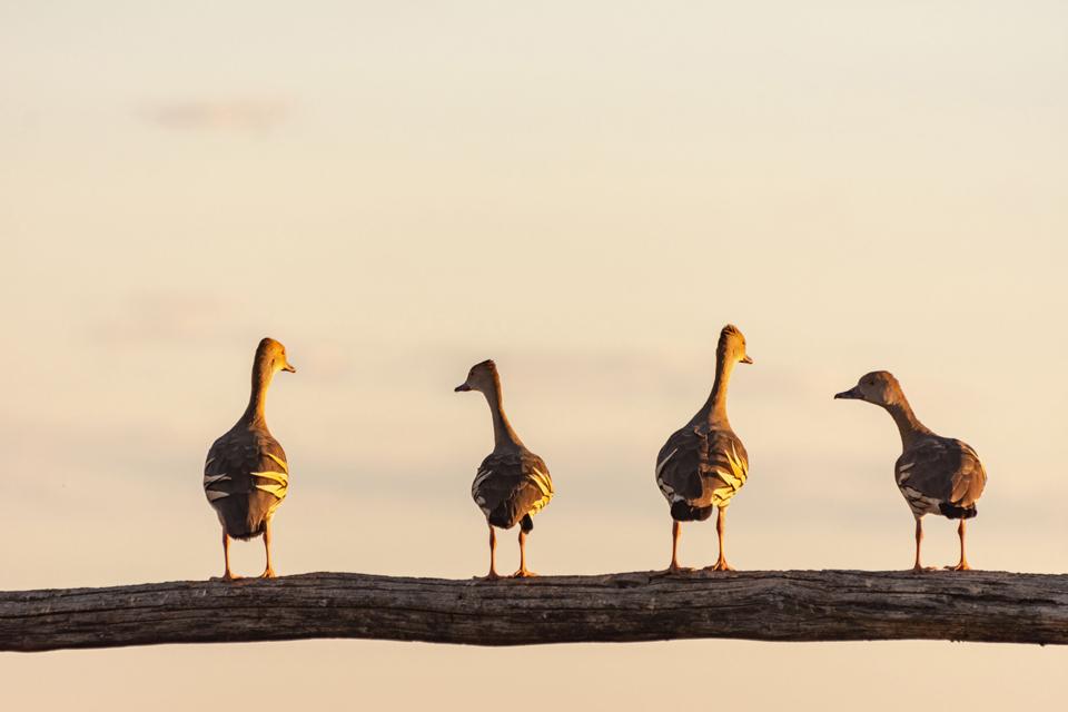 Whistler Ducks