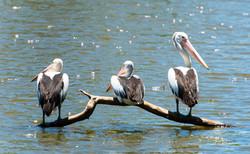 Pelicans At Lagoon