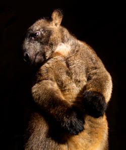 Alpha Male Tree Kangaroo
