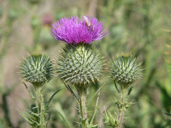 Bee in Thistles