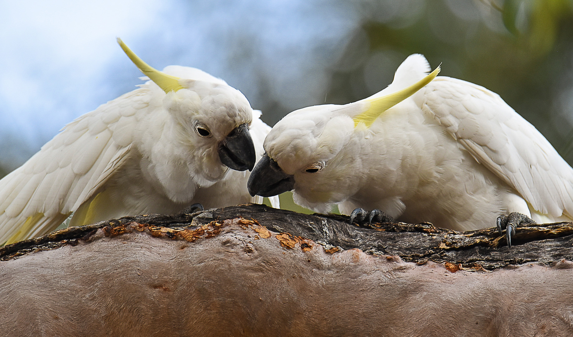 Whispering Cockatoos