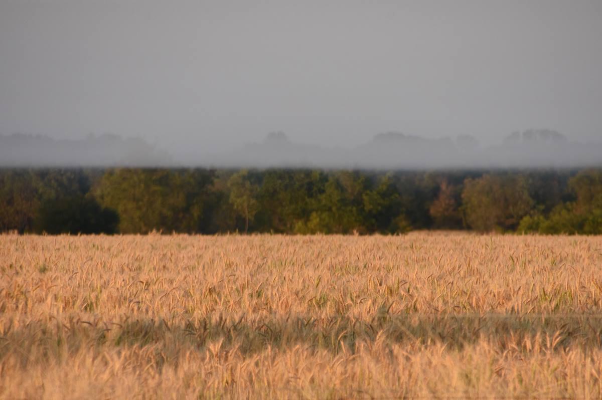 Fog on the Wheat
