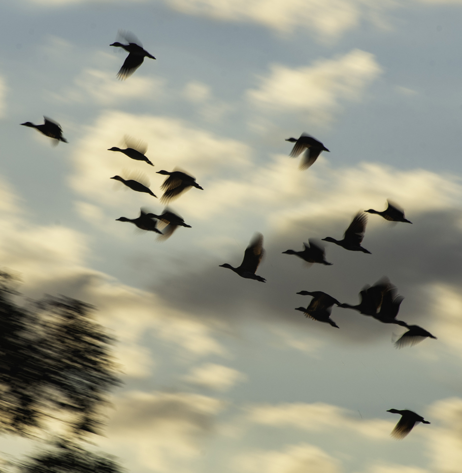 Flying High (Geese)