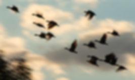 Flying High (Geese).jpg