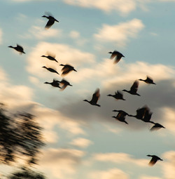 Flying High (Geese)