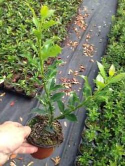 ilex aquifolium1