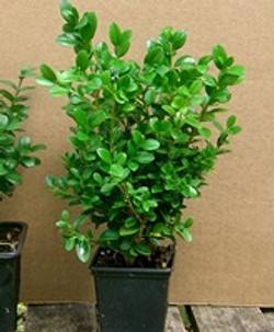 Buxus_microphylla_Faulkner_small
