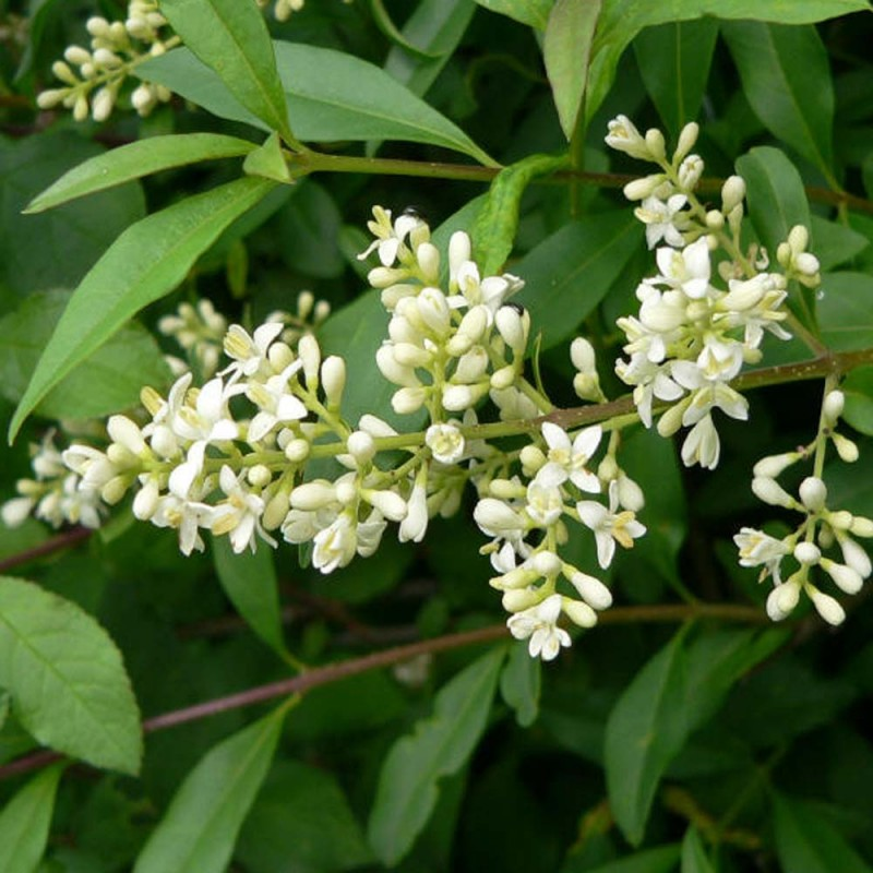 ligustrum flower