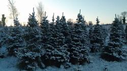 Farm Christmas Tress B.J. Martin