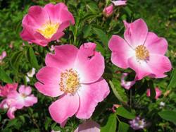 Rosa Canina (Pink)