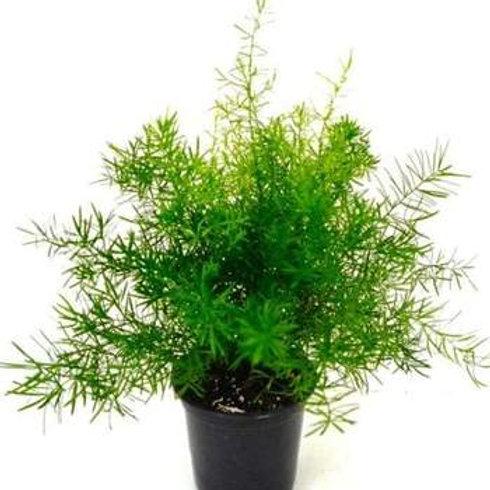 "4"" Asparagus Fern"