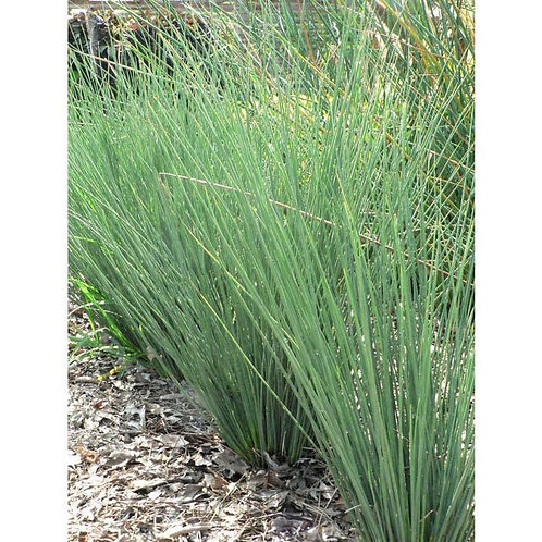 "4.5"" Juncus Blue Arrows"