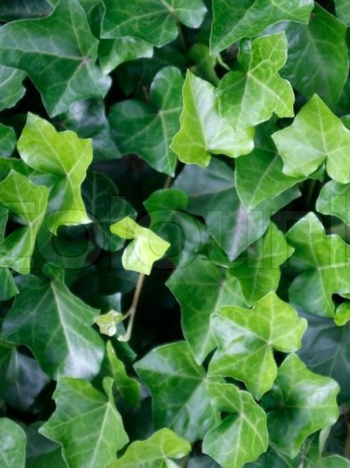 4 inch Ivy (pre-order)