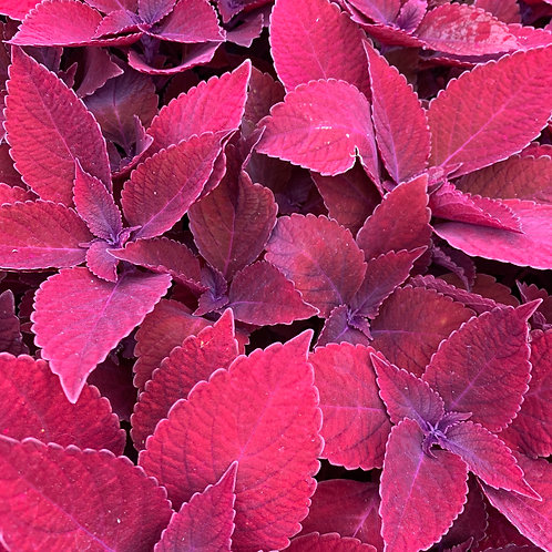 4.5 inch Coleus Ridiculous Red (pre-order)