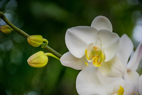 White Single Orchid 4 inch
