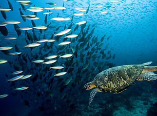 turtle-reef-snorkel-hervey-bay