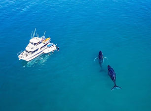 hervey bay swim with whales