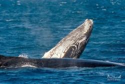 whales-hervey-bay
