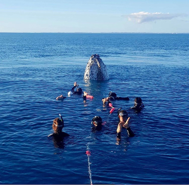 Things to do in Hervey Bay - Swimming with the whales