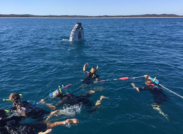 Swimming with the whales Hervey Bay