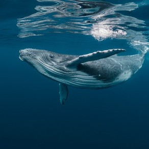 The 3 Tours that will Let You Swim with Whales in Hervey Bay