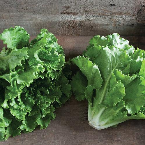 Green leaf lettuce head