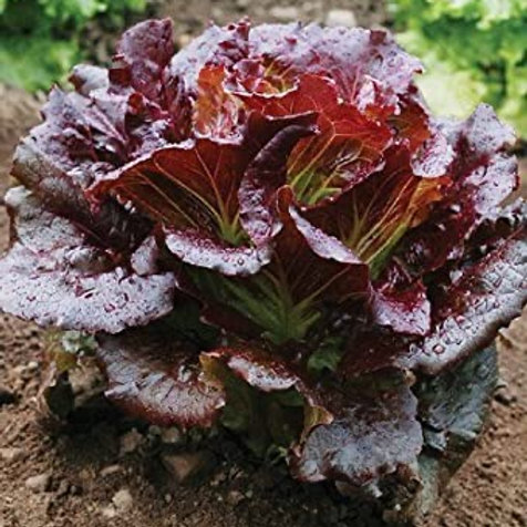 Red head lettuce(more coming soon)