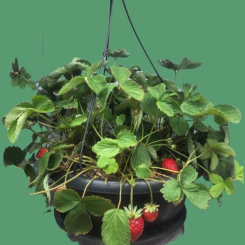 Jardineira de Morango