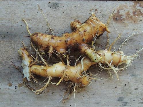 Lírio do brejo (rizoma) (500g)